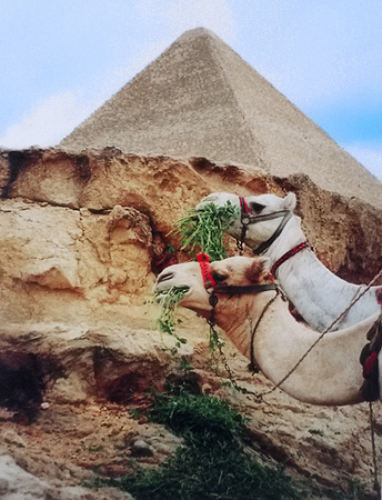mike carlson photography camels at the great pyramids of egypt